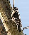 Picoides pubescens -New Jersey -USA -male-8.jpg