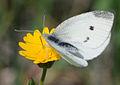 Pieris rapae - Small White butterfly 1.jpg