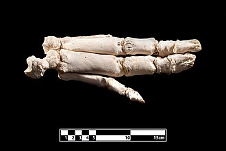 Domestic pig - Bones of a domestic pig's foot