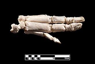 Pig - Skeleton of foot.