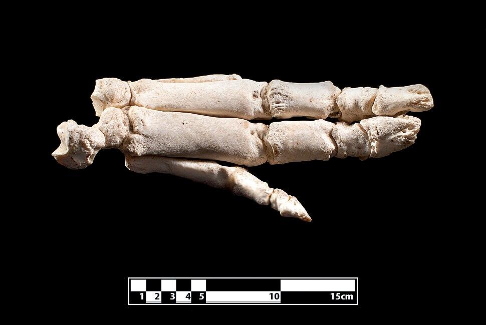 Pig hand skeleton