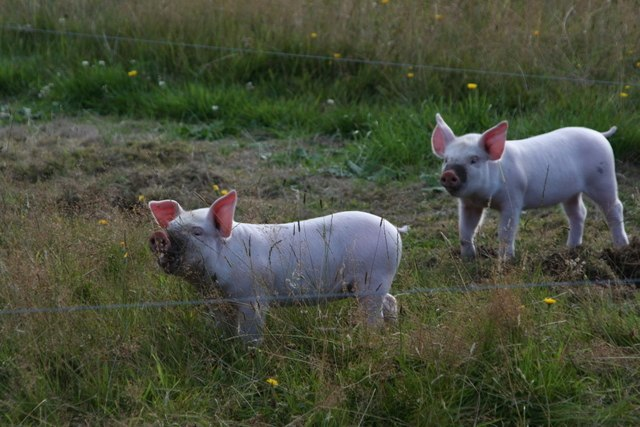 Piglets at Ardmore - geograph.org.uk - 914942