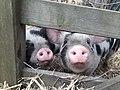 Pigs, Perivale.jpg