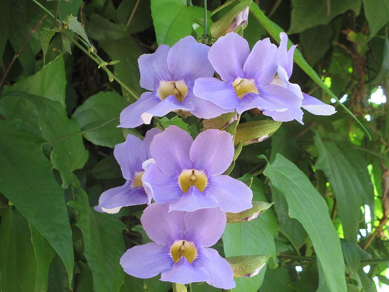 פרחי מורנינג גלורי ברמת גן