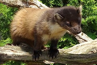 European pine marten - Pine marten at the British Wildlife Centre