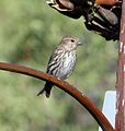Pine Siskin hen - Flickr - gailhampshire.jpg
