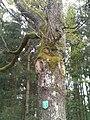 Pinkafeld Naturdenkmal Traubeneiche 2.jpg