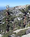 Pinus flexilis back of the ridge.jpg