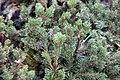 Pinus mugo 0zz.jpg