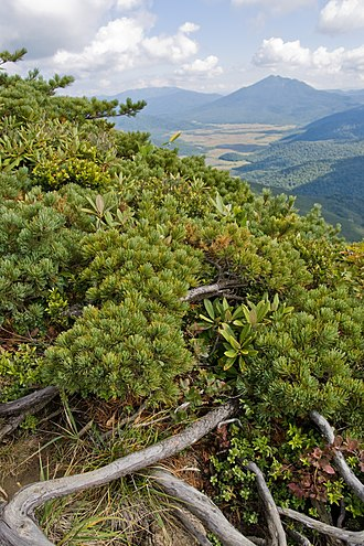 Pinus pumila - Image: Pinus pumila 03