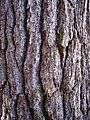 Pinus strobus bark Cheboygan.jpg