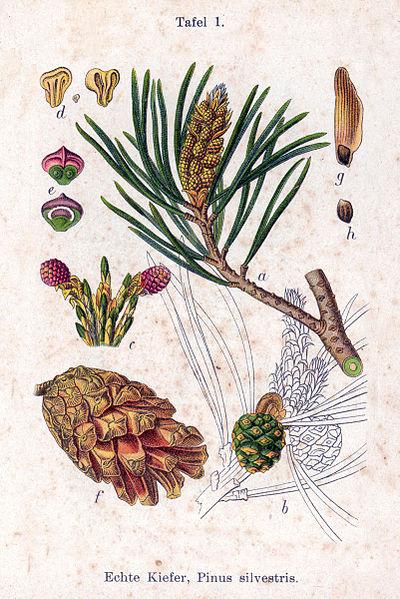 File:Pinus sylvestris Sturm01.jpg