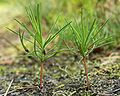 Pinus sylvestris seedlings kz.jpg