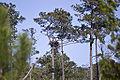 Pinus taeda Haliaeetus leucocephalus Blackwater NWR.jpg