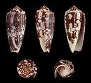 Pionoconus striatus 01.JPG