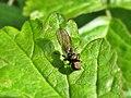Pipunculidae (Pipunculidae) - (male imago), Arnhem, the Netherlands.jpg