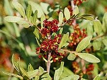 Pistacia lentiscus (male flowers).jpg