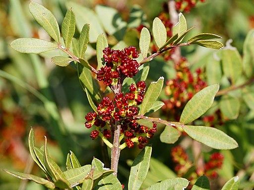 Pistacia lentiscus (male flowers)