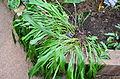 Pitcairnia olivaestevae (jardin botanique du parc de la Tête-d'Or, Lyon, France) 2.JPG