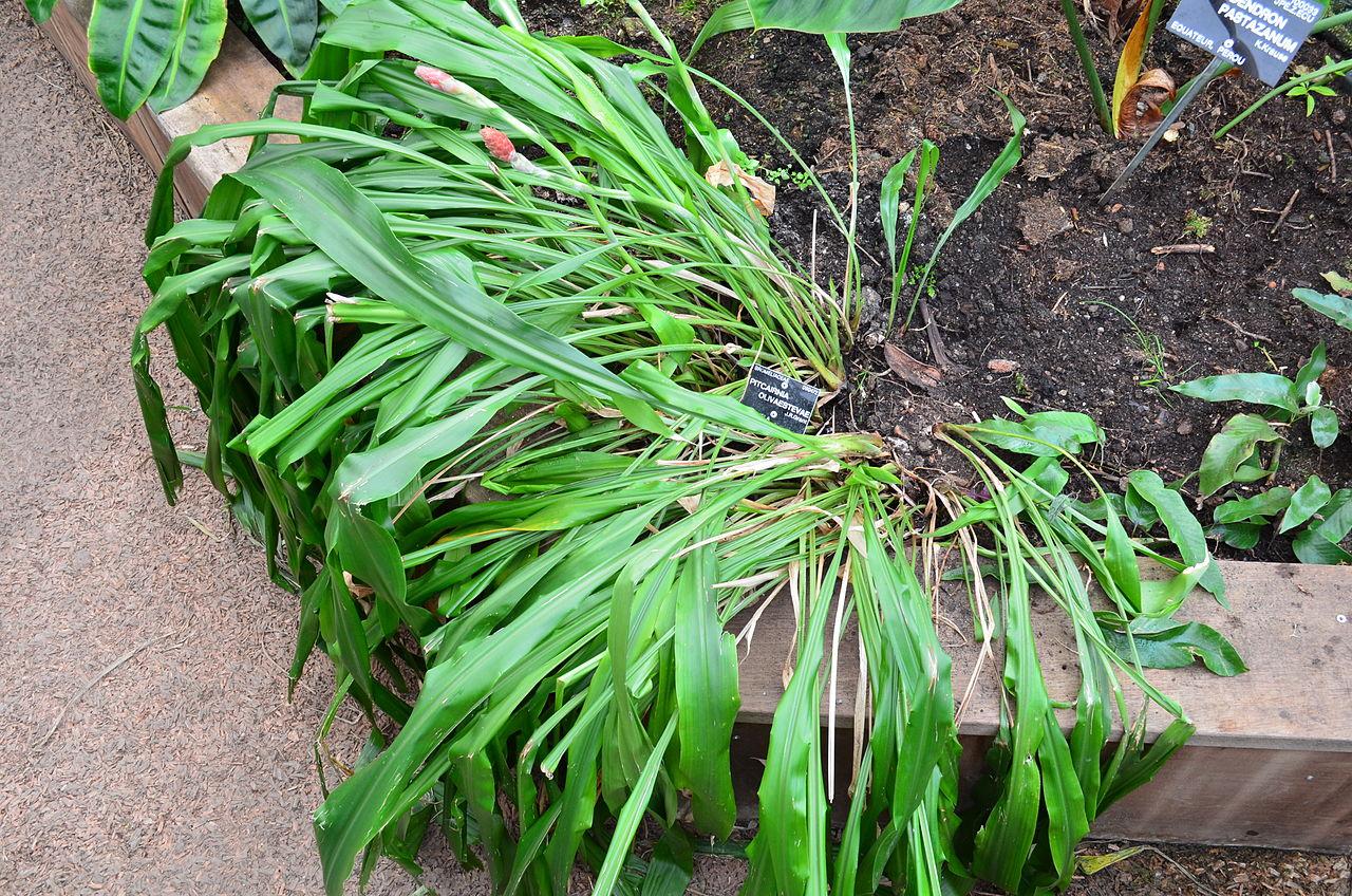 Datei pitcairnia olivaestevae jardin botanique du parc de for Jardin botanique lyon