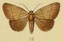 Pl.2-12-Leocyma pollusca=Neonegeta pollusca (Schaus & Clements, 1893).JPG