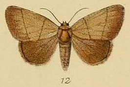 Pl.2-12-Leocyma pollusca=Neonegeta pollusca (Schaus & Clements, 1893).JPG