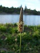 Plantago lanceolata-2.jpg