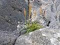 Plantago maritima plant (44).jpg