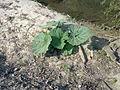 Plante non-identifiée au bord du Train à Grez-Doiceau 001.jpg