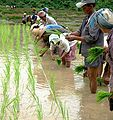 Planting paddy rice in Laos.jpg
