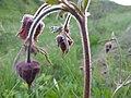 Plants of Artavaz 047.jpg