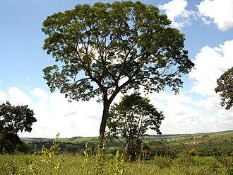 Plathymenia - Mature tree