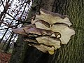 Pleurotus ostreatus 108293030.jpg