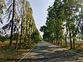Polyalthia avenue IIHR.jpg