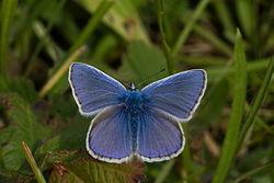 Un mâle, sur un brin d'herbe