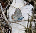 Polyommatus icarus (Dos Puntos) - Flickr - S. Rae (2).jpg