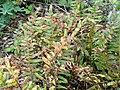 Polypodium calirhiza - University of California Botanical Garden - DSC09047.JPG