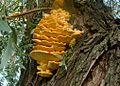 PolyporaceaeKäävätddsddsvSC04613.JPG