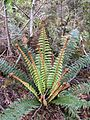 Polystichum vestitum Governors Bush Walk Mount Cook 5.JPG