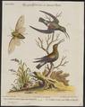 Polytmus holosericeus - 1700-1880 - Print - Iconographia Zoologica - Special Collections University of Amsterdam - UBA01 IZ19100143.tif