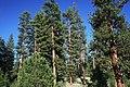 Ponderosa Pine Stand at Deer Creek-Malheur (23823501442).jpg