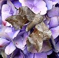 Poplar Hawkmoth. . Laothoe populi. - Flickr - gailhampshire (1).jpg