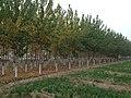 Poplar Trees - panoramio (6).jpg
