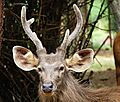 Portrait of Sambar Deer.jpg