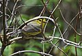 Portrait of a Female Prairie Warbler (47009244644).jpg