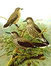 Poster Nucifraga caryocatactes