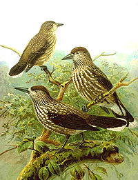 Poster Nucifraga caryocatactes.jpg