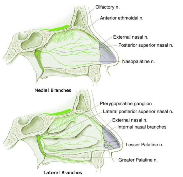 File:Posterior Superior Nasal Nerve.png
