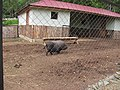 Pot-bellied pigs in the Zoo of Yuzhno-Sakhalinsk.JPG