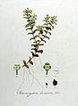Potamogeton densum — Flora Batava — Volume v8.jpg
